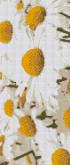 Алмазная вышивка Пано АП 02 20см*46,8см Ромашки полная зашивка